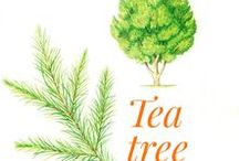 Tea Tree / The tea tree (Melaleuca alternifolia) native to Australia, belongs to the Myrtacaea family.  The genus includes more than eighty species which grow especially in Australia, but also in New Caledonia, New Zealand, Borneo, Java and Sumatra.