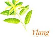 Ylang-ylang / Ylang-ylang is a tree of the Annonaceae family, native to South-East Asia! Ylang-ylang grows wild in hot and moist forests, in India, Indonesia, Malaysia and the Philippines. The trees flower year-round, though the flowers are more intense during the monsoon season. They are cultivated in the Pacific isles that offer the same climatic conditions. France produces one of the best available qualities on the Reunion island, where the tree was introduced in 1880.