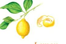 """Lemon / The lemon tree (Citrus limon or limonum) is a shrub with persistent and glossy dark green leaves, also called """"English lemon tree"""", which belongs to the large Rutaceae or citrus family. Lemon trees, cultivated in the Mediterranean basin, especially in Spain, main world exporter, and in subtropical regions, like slightly acid and well drained soils. In France, it grows in the ground in the region of Menton and Corsica, but the market production is insignificant."""
