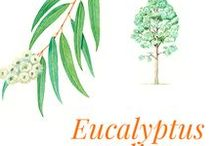 Eucalyptus radiata / Eucalyptus radiata is an Australian tree with a bluish grey trunk which may reach thirty metres and belongs to the Myrtaceae family. An almost exclusively Australian forest species including seven hundred species, the eucalyptus spread over the other continents in Europe, Africa, Asia and North and South America. It is found in all the pharmacopoeias of the planet. Australia, Morocco and Spain are the main exporters of essential oil of eucalyptus.