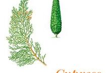Cypress / Native to southern Europe, cypress (Cupressus sempervirens) is an evergreen tree of the Cupressaceae family that may reach forty metres. Cupressus sempervirens grows in very different soils, its growth is rapid and lives for a long time. It is resistant to heat and can withstand bitter cold. It is cultivated in France (Provence), Italy, Spain, Portugal and the Maghreb (Algeria).