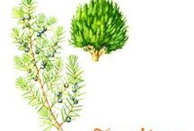 Juniper / Native of Slovenia and Crete of the Cupressaceae family. Juniper, a European shrub, loves sun but is resistant to cold. It grows from the submontane to the subalpine zone in Europe and in Northern hemisphere countries. In France, they are mainly found in Provence. The other producers of essential oil of juniper are Italy, Spain, Greece and Austria.