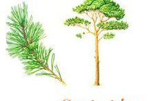 Scots pine / Le pin sylvestre est un arbre de la famille des pinacées à l'écorce ocre-rouge qui pousse dans toute l'Europe et jusqu'en Sibérie.