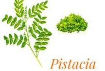 """Pistacia lentiscus / A regular of the maquis scrubland and garrigues, Pistacia lentiscus, also called """"mastic"""" or """"terebinth"""", is a shrub of the Anacardiaceae family. Pistacia lentiscus is present in Morocco (since the 1950s), in Algeria and in Corsica. The yields are only profitable when the tree reaches adulthood between ten and fifteen years."""