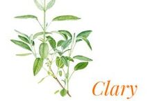 Clary sage / Clary sage (Salvia sclarea) is a biennial herbaceous perennial plant of the Lamiaceae family, native to Europe and Western Asia.  Sage is cultivated in Provence, though its once large production has been progressively marginalised by major.