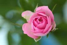 Madamoiselle Rose