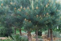 Pines and Conifers / Pines and Conifers for sale at Urban Jungle.