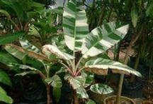 Variegated foliage / Variegated foliage plants