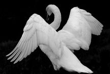 Swan / by Jody Thibodeaux-Bowman