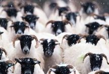 Sheep / Dedicated to my love of sheep. / by Sara Anthony-Boon (BSc Hons.)
