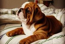 Cute Bulldogs