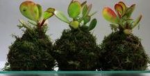 Kokedamas Leavesdesign / LEAVESdesign te acerca un trozo de naturaleza a tu hogar de una manera única y original en forma de Kokedama.  Tambien decoramos tus eventos con centros de kokedamas o kokedamas colgantes dando un toque de elegancia  leavesdesignleaves@gmail.com
