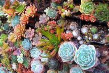 Succulents / Celebrating the beauty of all succulents and their variety of uses.