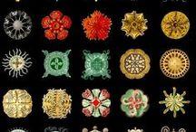 Art: Ernst Haeckel