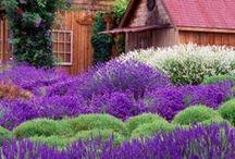 Even More Lavender!