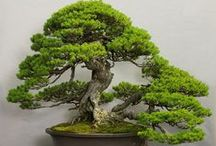 Bonsai & Bonsai Trees / Bonsai are trees and plants grown in containers in such a way so that they look their most beautiful--even prettier than those growing in the wild. Cultivating bonsai, therefore, is a very artistic hobby. It's also a good illustration of the gentle respect Japanese have for living things and an expression of their sense of what is beautiful. It's much more involved than growing potted flowers, and requires a much bigger commitment--physically and emotionally.