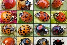 Ladybugs & Coccinellidae / The Coccinellidae are a family of small beetles, ranging from 0.8 to 18 mm (0.0315 to 0.708 inches). Coccinellidae are known colloquially as ladybirds (in Britain, Ireland, the Commonwealth, and some parts of the southern United States), ladybugs (originating in North America) or lady cows, among other names. When they need to use a common name, entomologists in the United States widely prefer the names ladybird beetles or lady beetles as these insects are not true bugs.