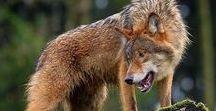 Wolf, vlk