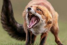 Fox, liška