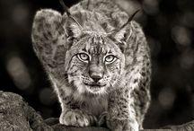 Lynx, rys