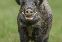 Wild boar, prase divoké