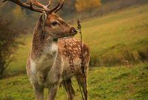 Fallow deer, daněk