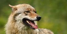 Wolf head in profile, vlk z profilu