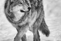 Wolf moving