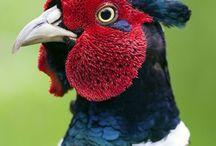 Pheasant - bažant