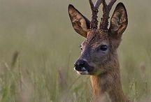 Roe deer head
