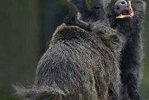 Wild boar fight