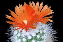 Cactus - Parodia (Notocactus)