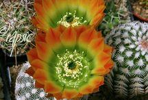 Cactus - Echinocereus