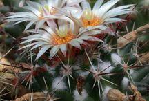 Cactus - Coryphanta