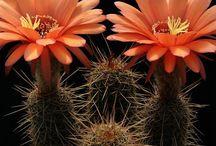 Cactus - Echinopsis