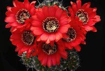 Cactus - Lobivia