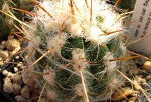 Cactus - Oreocereus
