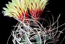 Cactus - Astrophytum