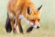 Fox moving