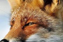 Fox head profile