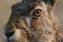 Hare, zajíc