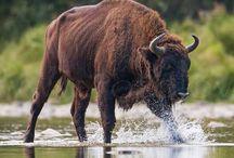 European bison - wisent - zubr