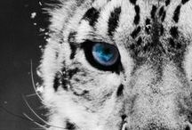 LOVE Snow Leopard