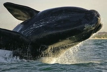 Whales in the bay - False Bay