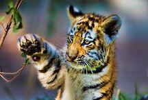 Wildcat Cubs