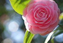 Gumpast camellia