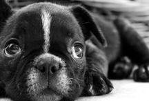 *French Bulldog*