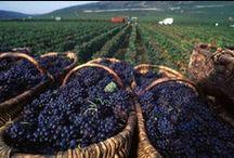 viticulture / des tableaux sur la vigne