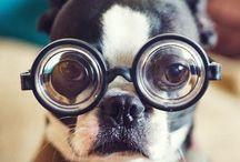 Boston Terriers Rule