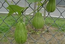 Chayote Squash (everything about) / Chayote Squash. Cooking, grooving and everything about.